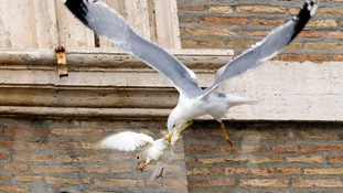 A seagull attacked a dove released by Pope Francis during prayers in Saint Peter's Square