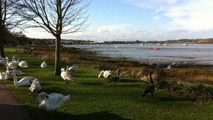 Concerns over the future of Mistley's swans