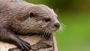 An otter sits on a log.
