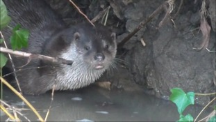 Otters make a welcome return to Market Harborough