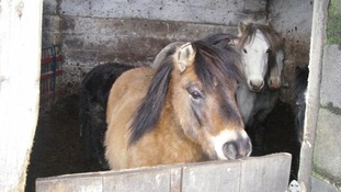 In pictures: Neglected horses