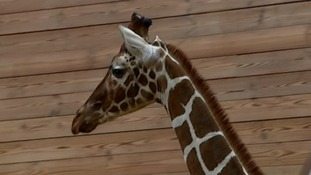 Marius, the giraffe killed and fed to lions after a decision by Copenhagen Zoo.