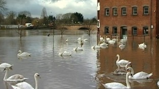 Swans in Worcester city centre