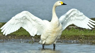 Slimbridge swans star in fifty year long study
