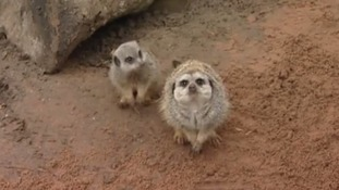 Groucho has lost his status as top-ranking meerkat to care for his daughter.