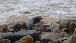 Washed-up seal pups returned to sea off Cornwall