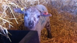 A 2 week old lamb at Church Farm.