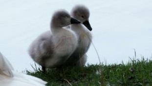 cygnets in the forest of dean