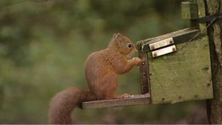 Red squirrel numbers rise for the third year in a row