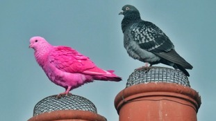 A pink bird, resembling a pigeon, sits on a rooftop in Darlington