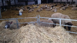 Lambs and ewes rescued from Somerset floods