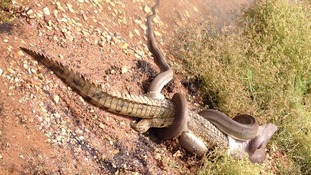 Snake battling crocodile
