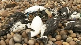 Storms kill thousands of seabirds