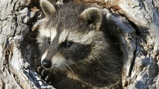 Missy the raccoon (not pictured) escaped from her Somerset enclosure after the ground softened due to flooding
