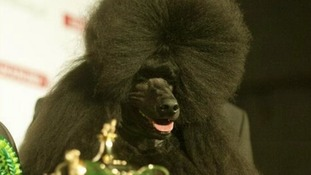 Ricky the poodle wins Best-in-Show at Crufts