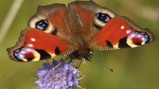 Bolton Butterfly  PETER HUNTER