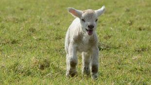 Spring Lamb in Appleton  DARREN MOSTON