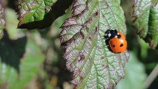 Ladybird in Liverpool  ANTHONY BEYGA