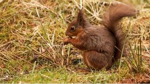 Red Squirrel  RICHARD BAYLEY