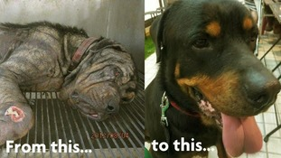 Rescued rottweiler wins Ruffs alternative dog show