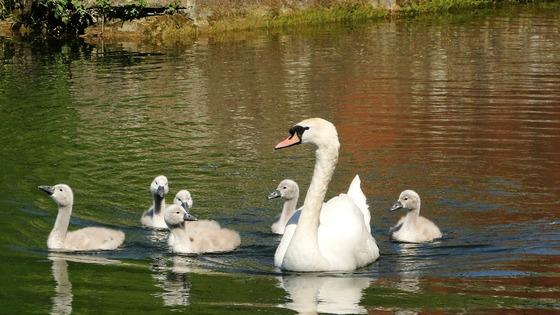 swans on Kennet & Avon Canal, Devizes