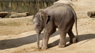 The unnamed baby elephant is now on public display