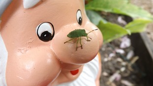 Shield Bug on garden gnome in Hindley, Wigan  NATHAN LYONS
