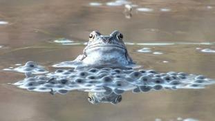 Frogs spawning in Halewood, Merseyside  GARETH WYN ROBERTS
