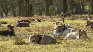 Deer sunbathing in Dunham Massey  NICK HARRISON