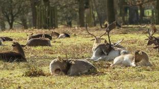 Deer sunbathing in Dunham Massey  NICK HARRISON