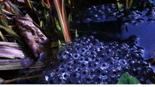 Blue sky reflecting in the frogspawn waters in Liverpool TONY BESSANT