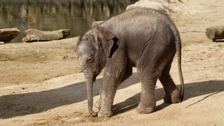 Endangered Asian elephant is born in Warwickshire