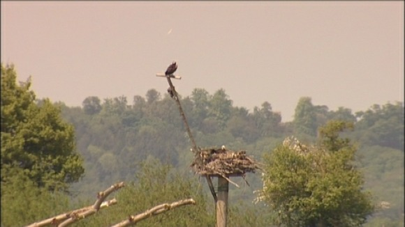 Ospreys nest in Rutland Water