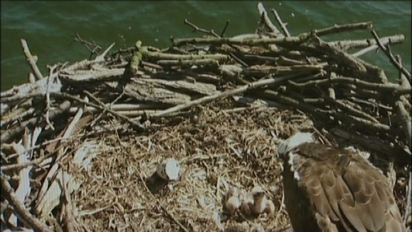 Osprey chicks in nest at Rutland Water