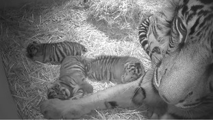 Hidden cameras capture newborn rare tiger cubs playing at London Zoo