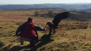 Police warn public not to approach 'lost' golden eagle in Carmarthenshire