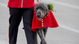 Irish Guards mascot Domhnall with his new sprig of Shamrock.