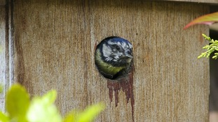Blue tit in the bird box