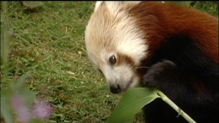 Red Panda arrives in Dumfries and Galloway