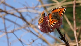 Butterflies on blossom in Harbourne
