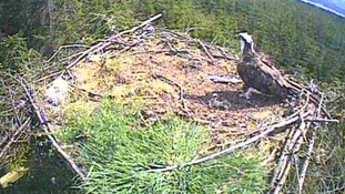 Conservationists celebrate arrival of the first two osprey chicks