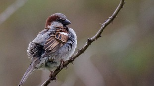 The house sparrow topped the list