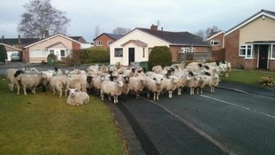 Herd of sheep escape in street in Alderley Edge