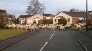 Herd of sheep crossing the road in Wilmslow