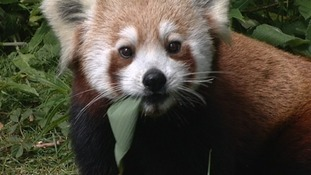 Red panda breeding programme in Galloway welcomes new male