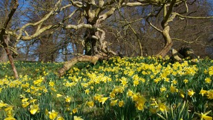 Spring daffodils at Blickling, Norfolk