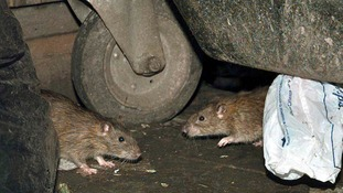 Rats are getting bigger due to their access to waste food