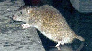 15 inch rats have been seen in the city