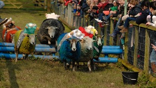 The Hatton racing sheep storm around the special racetrack