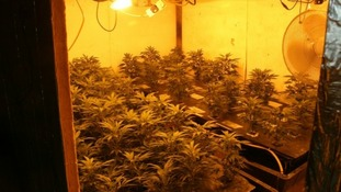 Cannabis plants.
